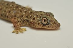 Gecko et reptile photo stock