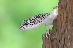 Gecko Eublepharis macularius Royalty Free Stock Photo