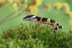 Gecko Eublepharis macularius Royalty Free Stock Image