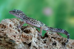 Gecko Eublepharis macularius Stock Photos