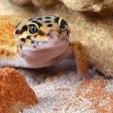 Gecko Eublepharis macularius Royalty Free Stock Images