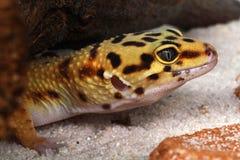 Gecko Eublepharis macularius Royalty Free Stock Photo