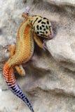 Gecko Eublepharis macularius Royalty Free Stock Photos