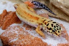 Gecko Eublepharis macularius Royalty Free Stock Photography