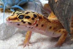Gecko Eublepharis macularius Stock Photos