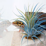 Gecko Eublepharis macularius Stock Images