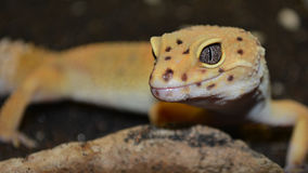 Gecko Eyes royalty free stock photography