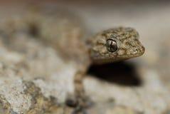 Gecko (Fam. Gekkonidae) i Azrou, mellersta kartbok, Marocko Fotografering för Bildbyråer
