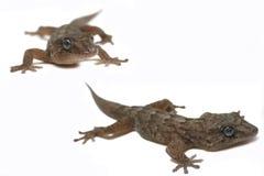 Gecko favoloso Fotografie Stock