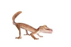 gecko Feuille-botté avec la pointe du pied, uroplatus d'unknow, sur le blanc photographie stock