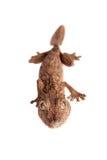 gecko Feuille-botté avec la pointe du pied, uroplatus d'unknow, sur le blanc photos libres de droits