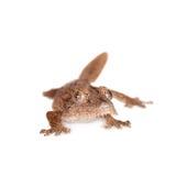gecko Feuille-botté avec la pointe du pied, uroplatus d'unknow, sur le blanc image libre de droits
