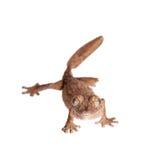 gecko Feuille-botté avec la pointe du pied, uroplatus d'unknow, sur le blanc photographie stock libre de droits