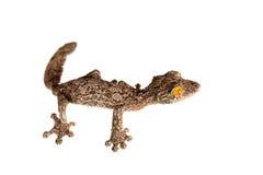 gecko Feuille-coupé la queue, sameiti d'uroplatus sur le blanc images stock