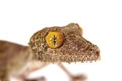 gecko Feuille-coupé la queue, sameiti d'uroplatus sur le blanc photographie stock libre de droits