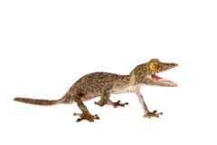 gecko Feuille-coupé la queue, sameiti d'uroplatus sur le blanc images libres de droits