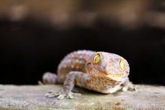 Gecko fiel von der Wand in Wasserbeh?lter und kletterte auf Rand des Beckens stockfoto