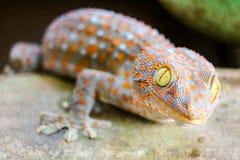 Gecko fiel von der Wand in Wasserbeh?lter und kletterte auf Rand des Beckens stockbild