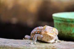 Gecko fiel von der Wand in Wasserbeh?lter und kletterte auf Rand des Beckens lizenzfreies stockbild