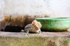 Gecko fiel von der Wand in Wasserbeh?lter und kletterte auf Rand des Beckens stockfotos
