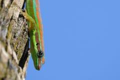 Gecko fleuri de jour photos libres de droits