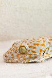 Gecko focalisé d'oeil et de tête ou verticillatus de gecko, orange et le GR photographie stock