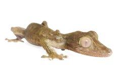 Gecko Foglio-munito fotografia stock