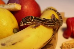Gecko on food - Coleonyx mitratus gecko female on fruit. Gecko on food - Coleonyx mitratus gecko on fruit stock image
