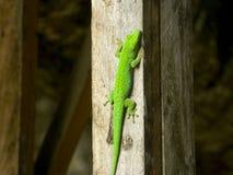 Gecko från Seychellerna Royaltyfri Fotografi