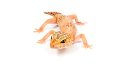 Gecko in front of white. Gecko in front of a white background stock image