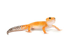 Gecko in front of a white background. Orange gecko in front of a white background stock image