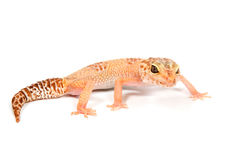 Gecko in front of a white background. Orange gecko in front of a white background royalty free stock photos