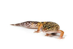 Gecko in front of a white background. Smiling Gecko in front of a white background stock photos