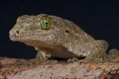 Gecko géant de banane photo stock