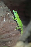 Gecko géant de jour du Madagascar photos stock