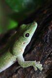 Gecko géant du jour de Koch (madagascariensis Kochi de Phelsuma) photos libres de droits