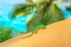 Gecko g?ant de jour photos stock