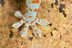 Gecko gekko stockfotos