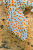 Gecko gekko Royalty Free Stock Image
