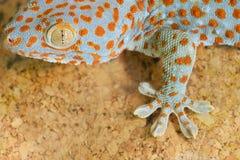 Gecko gekko. Nice Gecko gekko close up royalty free stock image