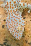 Gecko gekko. Nice Gecko gekko close up stock photography