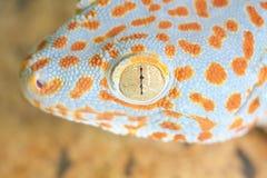 Gecko gekko Stock Images