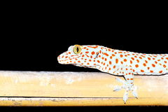 Gecko  Gekkonidae Stock Photography