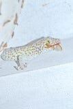 Gecko (Gekkonidae) Royalty Free Stock Photo