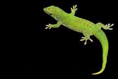 Gecko gigante del día Imágenes de archivo libres de regalías