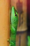 Gecko gigante del día de Madagascar imagen de archivo libre de regalías