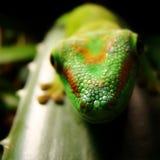 Gecko gigante di giorno del Madagascar Immagine Stock