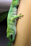 Gecko gigante di giorno del Madagascar fotografia stock libera da diritti