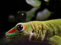Gecko gigante di giorno del Madagascar fotografie stock libere da diritti