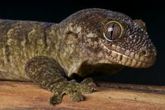 Gecko gigante Di massima-snouted fotografia stock libera da diritti